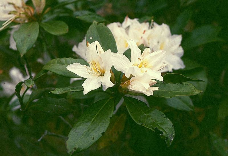 Rhododendron moulmainense